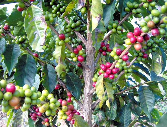 Cafeeiro (Coffea sp.)
